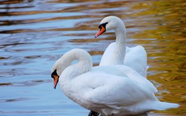 Two white swans, water