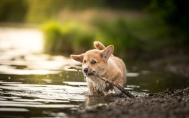 Preview wallpaper Welsh Corgi, puppy in water, sticks