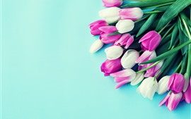 White and pink tulips, blue background