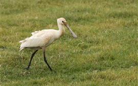 White bird walking in the meadow