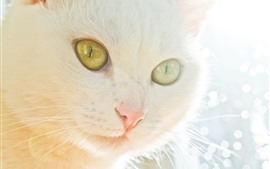 White cat face, nose, hazy, glare