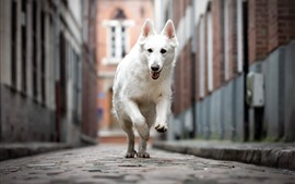 White dog running, street, city