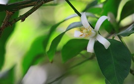 White flower, petals, green leaves