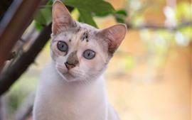 Aperçu fond d'écran Regard de chaton blanc, visage, brumeux