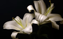 White lilies, black background
