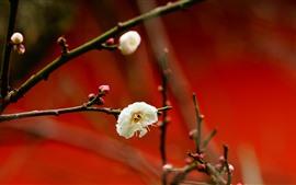 Цветы белой сливы, красный фон