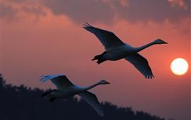 Voo de cisnes branco, pôr do sol, céu