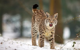 Wild cat front view, snow