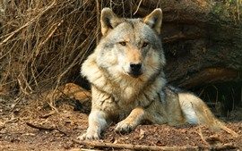 Preview wallpaper Wolf rest, wildlife, front view