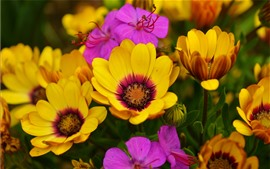 Preview wallpaper Yellow and pink osteospermum flowers