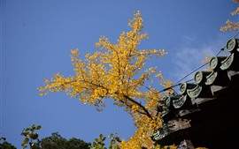 Yellow apricot tree leaves, roof, blue sky