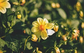 Yellow flowers, butterfly, spring