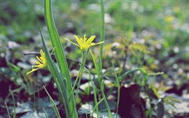 Fleurs jaunes, tige, printemps