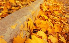 Желтые листья клена, осень