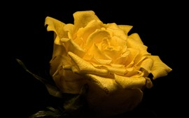 Yellow rose close-up, petals, black background