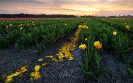 Campo de tulipanes amarillos, pétalos, puesta de sol