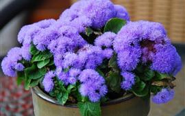 Ageratum, purple flowers