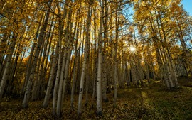Preview wallpaper Autumn, birch, trees, sun rays