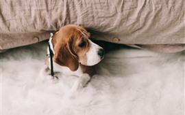壁紙のプレビュー ビーグル犬、ベッド