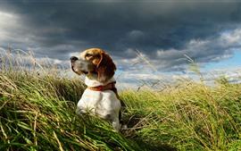 Beagle, cachorro, grama, verão