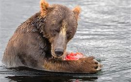 Urso comer peixe, água