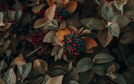 Preview wallpaper Berries, leaves, plants