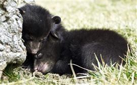 Preview wallpaper Black bear cubs