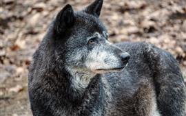Lobo negro olha para trás
