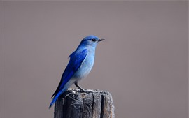 Blue bird, stump