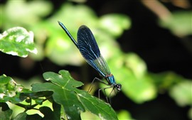 Blue dragonfly, green leaves