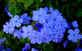 Blue little flowers, petals