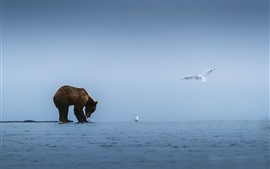 Preview wallpaper Brown bear, lake, seagulls