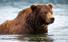 Preview wallpaper Brown bear, wet, water