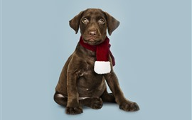 Preview wallpaper Brown dog, scarf