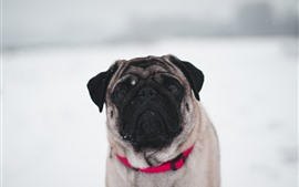 Preview wallpaper Bulldog, snow, winter, white background