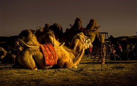 Preview wallpaper Camel rest