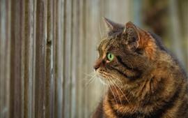 Gato, ojos verdes, cabeza.