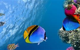 Pez payaso, pez, coral, agua.