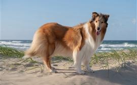 Perro collie, playa, mar