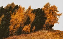 Coníferas, árvores, outono