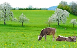 Cow, green grass, flowers, spring