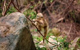 Mono de oro lindo cachorro