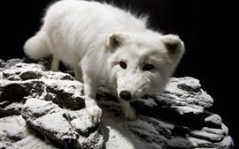 Raposa polar pequena bonito