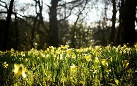 Narcisos, sol, brilho