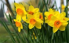 壁紙のプレビュー 水仙、黄色い花、花びら