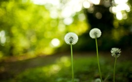 Dandelion, green background