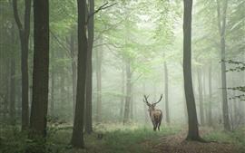 미리보기 배경 화면 사슴, 삼림, 안개, 아침
