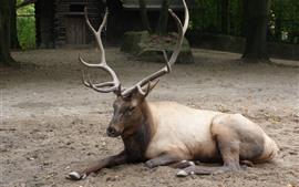 Олень, отдых, рога, зоопарк