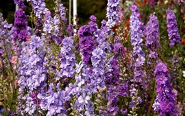 Preview wallpaper Delphinium purple flowers