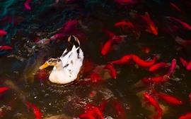 Pato e peixes, lagoa